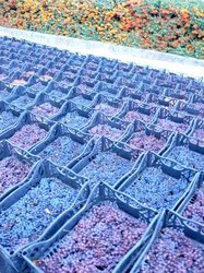 Bins%20of%20grapes%20for%20passito%20at%20Montesissa.JPG
