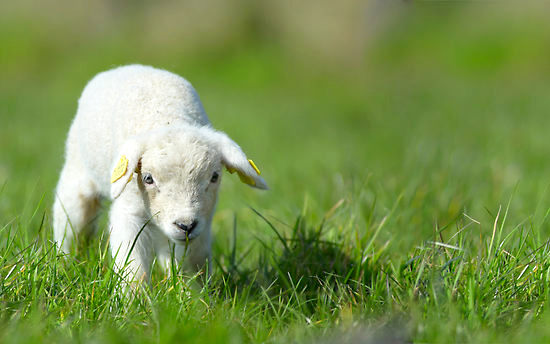 Cute baby lamb.jpg