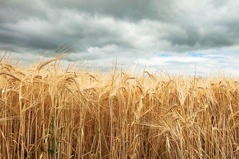 Grain-001.jpg