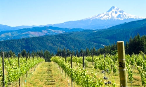 Mount_Hood_Oregon_Vineyard_md.jpg