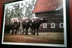 Water%20buffalo%20herd%20picture%20.JPG