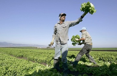 Lettuce pickers.jpg