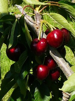 Cherry cluster at Hanrahan Orchard.JPG