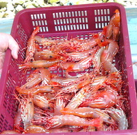 Basket of spot prawns.JPG