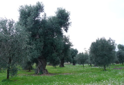 Olive grove at Vallone.JPG