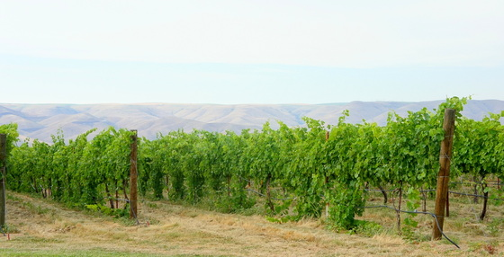 Umiker vineyards.JPG
