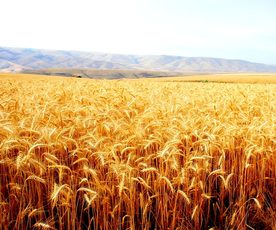 Wheat crop in Lewiston.JPG